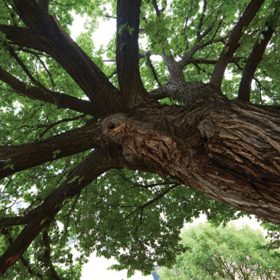 The Survivor Tree – Tomorrow